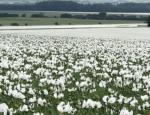 Rostlinná produkce a odbyt vysoce kvalitního máku modrého