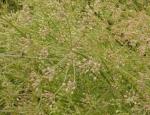 Rostlinná produkce kmínu kořenného a dalších zemědělských komodit na úrodných půdách