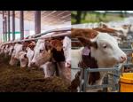Chov skotu pro produkci mléka a masa ve volných stájích