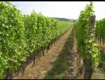 Vinařství na Znojemsku nabízí bílá a červená vína z biohroznů