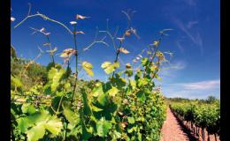 Rozsáhlé vinohrady na jižní Moravě, degustace vín