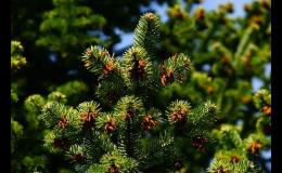 Jehličnany, okrasné dřeviny v zahradním centru v Břeclavi