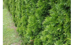 Okrasné keře, túje, živé ploty, jehličnany Břeclavsko, Hodonínsko