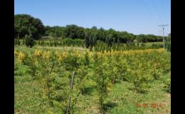 Výsadba okrasných školek - túje, tisy, smrky, jedle, borovice