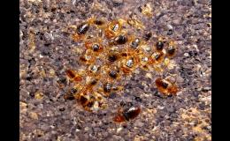 Odborné hubení štěnic, švábů, mravenců, blech, sršňů, octomilek
