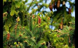 Prodej jehličnanů, okrasných stromů a keřů - zahradnictví Znojmo