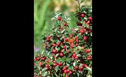 Nabídka okrasných keřů a stromů v zahradnictví ve Znojmě