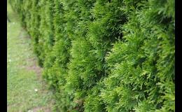 Nabídka okrasných tújí, jehličnanů, popínavých rostlin