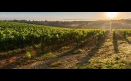Vinice v pálavské oblasti jižní Moravy