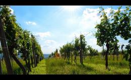 Vinice rodinného vinařství ve Velkých Pavlovicích