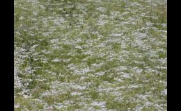 Kvetoucí kmín kořenný na úrodných polích Prostějovska