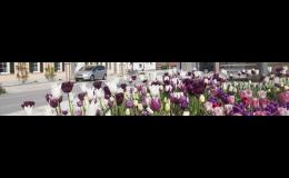 Výsadba cibulovin ve městech a obcích - Verver Export Znojemsko