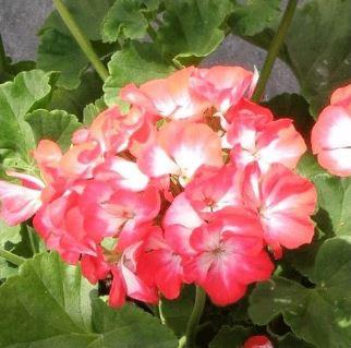 Zahradní, balkonové i pokojové rostliny e-shop