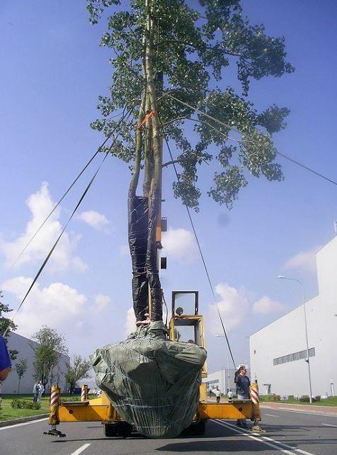 Přesazování vzrostlých stromků