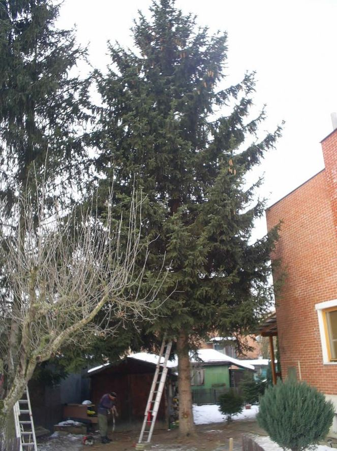 Přesazení samostatně rostoucích stromů