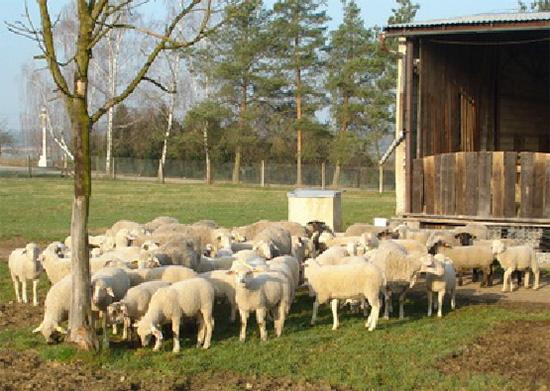 Je �halal maso� skute�n� d�vodem k obav�m?