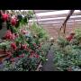 Fuchsie, pelargonie, ale i další květiny