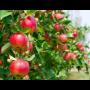 Ovocné stromy, jabloně, hrušně, třešně, meruňky, broskvoně, i keře - pěstování a prodej Brno