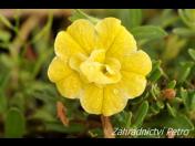 Zahradnictví Petro Mělník: specialista na fuchsie a další květiny