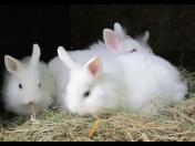 Špatná výživa může zakrslému králíkovi způsobit vážné zdravotní obtíže