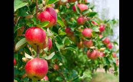 Ovocné stromy, jabloně, hrušně, třešně, meruňky, broskvoně, i keře Brno