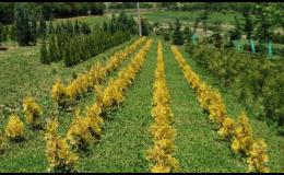 Prodej lesních stromků - zlatožluté thuje, PROPLANT GROUP s.r.o.