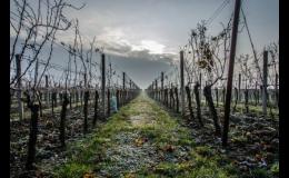 Vinařství Čech s.r.o., Tvrdonice: kvalitní vína přívlastková, vína ledová a barikovaná