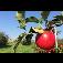 Ovocnářská farma Miloš Thoř - pěstování a prodej jablek